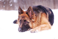 Beautiful fluffy German shepherd dog Junior puppy lying in a winter snowy field. age of nine months Stock Photography