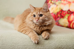 Beautiful fluffy ginger cat lying on the sofa Royalty Free Stock Photo