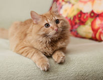 Beautiful fluffy ginger cat lying on the sofa Stock Images