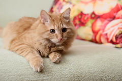 Beautiful fluffy ginger cat lying on the sofa Stock Photo