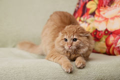 Beautiful fluffy ginger cat lying on the sofa Stock Image