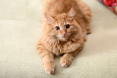 Beautiful fluffy ginger cat lying on the sofa Royalty Free Stock Photos