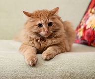 Beautiful fluffy ginger cat lying on the sofa Royalty Free Stock Photography