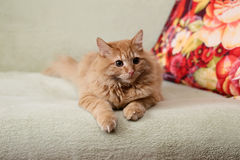 Beautiful fluffy ginger cat lying on the sofa Stock Photography