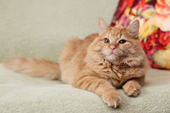 Beautiful fluffy ginger cat lying on the sofa Royalty Free Stock Images