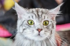 A beautiful fluffy gray pedigreed cat is surprised. Surprised animal.  stock photos