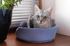 Beautiful gray tabby cat with green eyes is sitting on a cat bed near to a window and pot plant royalty free stock photos
