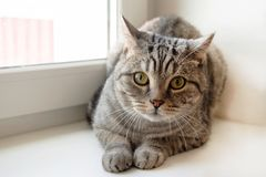 Fluffy gray tabby cat with green eyes is sitting near to the window. Beautiful fluffy gray tabby cat with green eyes is sitting near to the window Royalty Free Stock Image