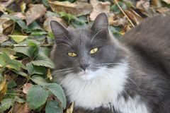 Beautiful fluffy gray with white spots the cat lies in the garden stock image
