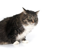 Beautiful fluffy house cat looking to side. Royalty Free Stock Photo