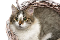 Beautiful fluffy kitten lying in a basket on a white background Stock Photo