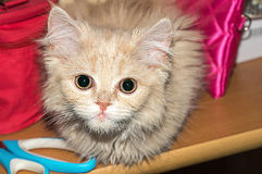 Beautiful fluffy kitten, peach color. Stock Photography