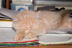 Beautiful fluffy kitten, peach color. Stock Photos