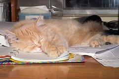 Beautiful fluffy kitten, peach color. Stock Image