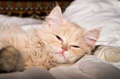 Beautiful fluffy kitten, peach color. Stock Photo
