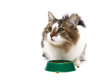Beautiful fluffy kitten sits beside a bowl of food on a white ba Stock Photos