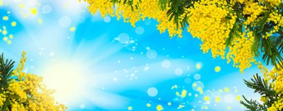 Free Beautiful Fluffy Mimosa Flowers Panorama Background. Blooming Spring Mimosa Tree Nature Over Blue Sky And Sun. Greeting Card Templ Royalty Free Stock Image - 112096896
