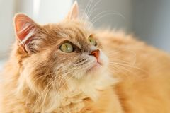 A beautiful fluffy orange cat with a big green eyes and mustache looks attentively stock photography