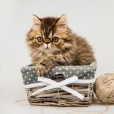 Beautiful fluffy Persian kitten cat in the basket royalty free stock images