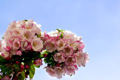 Blooming Pear Tree Stock Photography