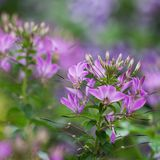 Beautiful Cleome flowers flowering in a summer park or in the garden. Beautiful fluffy pink flowers Cleomes decorate the park stock image