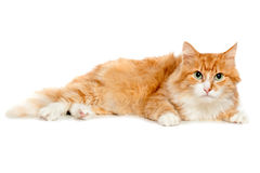 Beautiful fluffy red cat. Isolated Stock Images