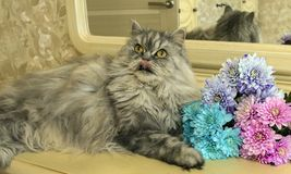 Beautiful fluffy Scottish purebred cat on the background. Of colored chrysanthemums looking at you royalty free stock image