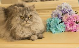 Beautiful fluffy Scottish purebred cat on the background. Of colored chrysanthemums looking at you stock images