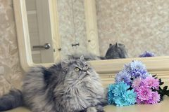 Beautiful fluffy Scottish purebred cat on the background. Of colored chrysanthemums looking at you royalty free stock images