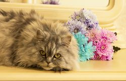 Beautiful fluffy Scottish purebred cat on the background of colored chrysanthemums looking at you. On the background of colored chrysanthemums looking at you stock images