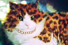 A beautiful fluffy Siberian cat in leopard spots with a massive gold chain looks at the lens stock photography