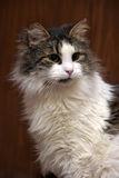 Beautiful fluffy Siberian cat Royalty Free Stock Images
