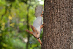 Beautiful fluffy squirrel Royalty Free Stock Photo