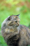 Beautiful fluffy tortoiseshell cat Stock Image