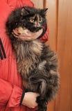 Beautiful fluffy tortoiseshell cat Royalty Free Stock Images