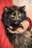 Beautiful fluffy tortoiseshell cat Stock Image