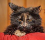 Beautiful fluffy tortoiseshell cat Stock Photos