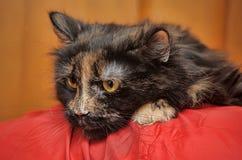 Beautiful fluffy tortoiseshell cat Stock Photo