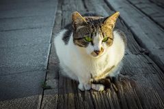 Beautiful Fluffy White Black Spotted Beach Cat with Vibrant Green Eyes in Sunlight Sitting on the Ground Staring. Front View. Urban Lifestyle Photo Royalty Free Stock Photos