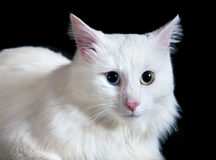 Beautiful fluffy white cat with different eyes Stock Photos