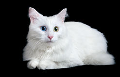 Beautiful fluffy white cat with different eyes. Isolated on a black background Stock Photography