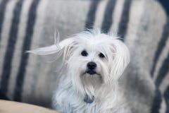Beautiful fluffy white dog portrait Royalty Free Stock Images