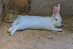 Beautiful fluffy white rabbit Stock Photo