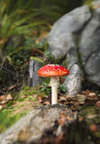 Beautiful Fly Agaric Stock Photography