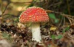 A beautiful Fly agaric fungus Amanita muscaria growing in a forest. royalty free stock images