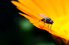 Beautiful fly on flower Royalty Free Stock Photo
