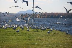Beautiful Fly Seagull , Quebec Stock Photo