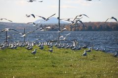 Beautiful Fly Seagull , Quebec Royalty Free Stock Photography