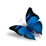 The beautiful flying blue butterfly on white background wiith sh Stock Images