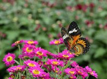 Beautiful flying butterfly, Leopard Lacewing, perching over a b
